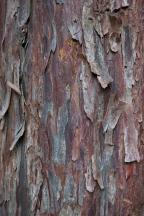 bark of a yew.jpg